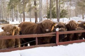 highlander cattles