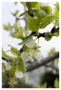 flower of plum