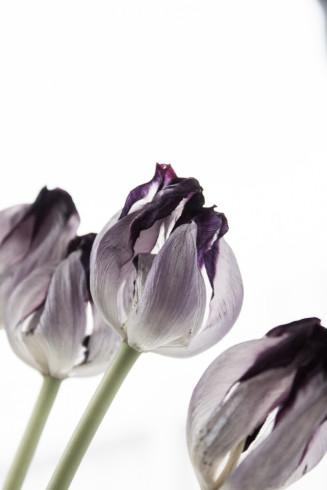 skötsel av tulpaner