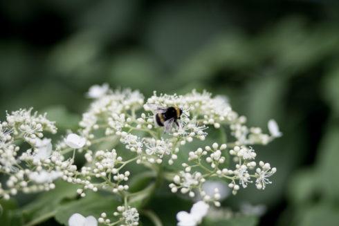 climbinghortensiabees-4