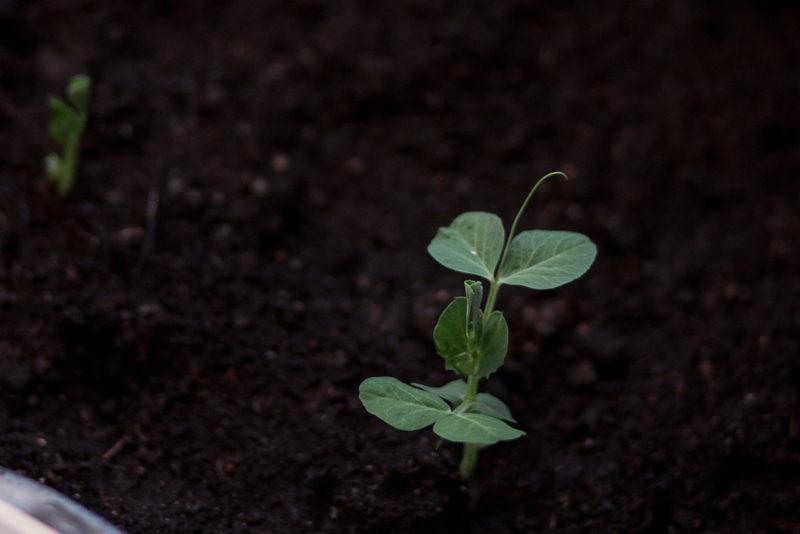 odla egna grönsaker