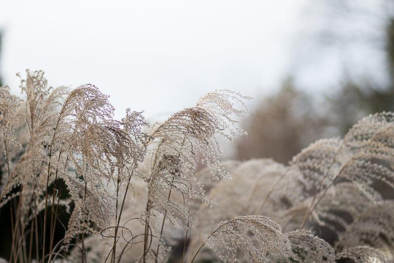 japanskt gräs
