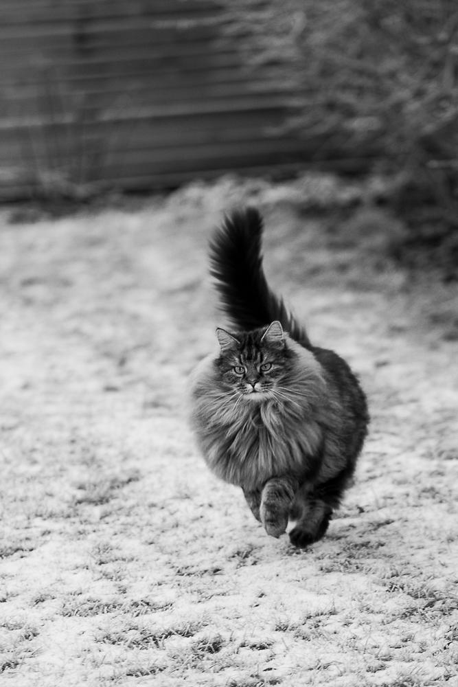 busig katt