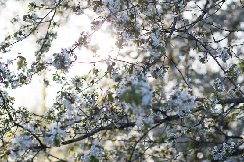 vita körsbärsträd