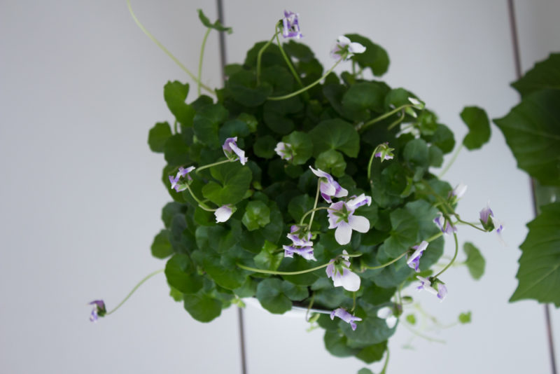 australisk viol