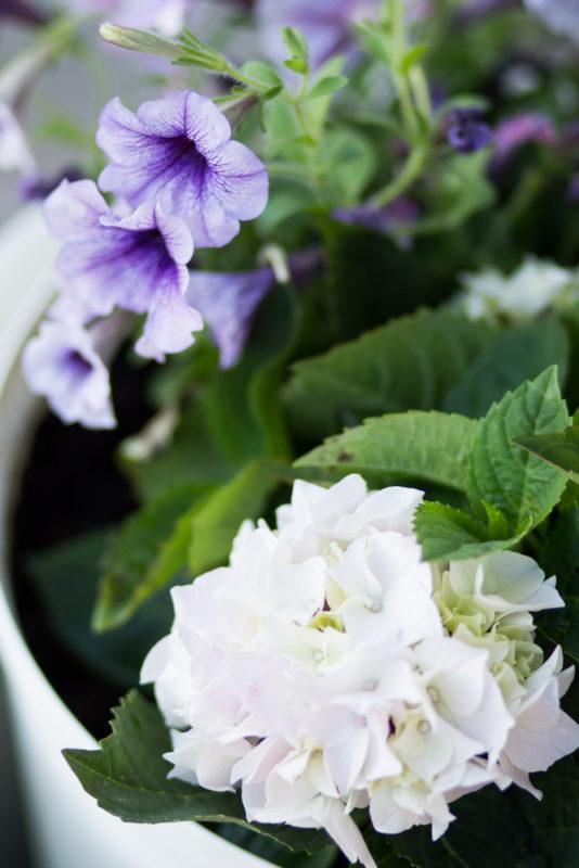 värme - petunia och hortensia