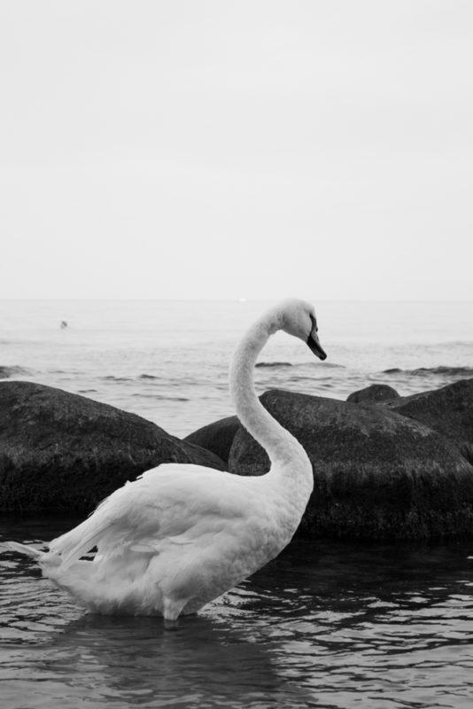 swans-sellin