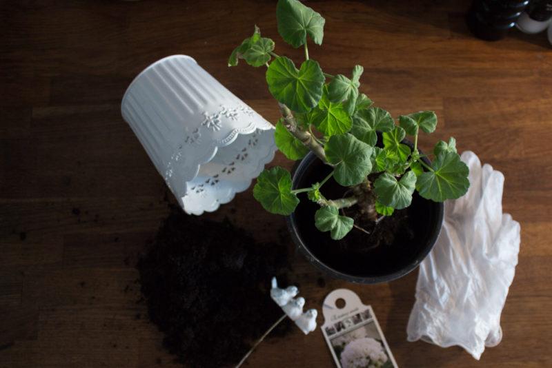 frösådda plantor och pelargoner