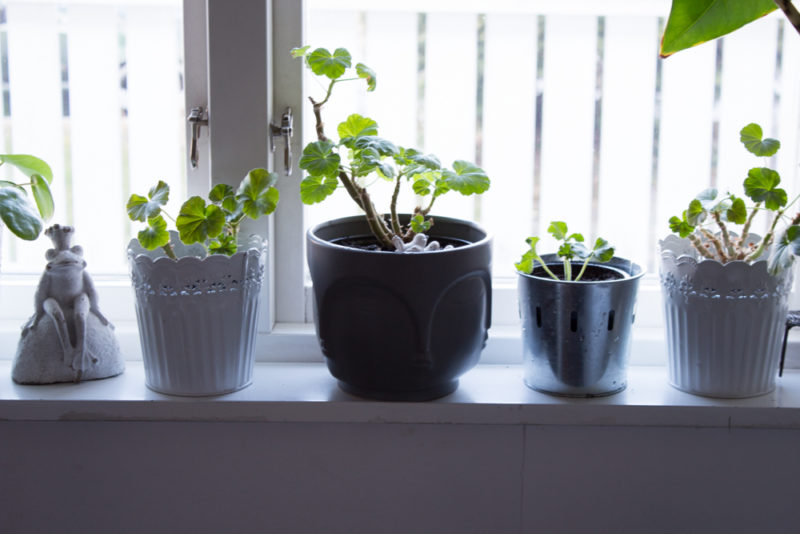 omplanterade pelargoner