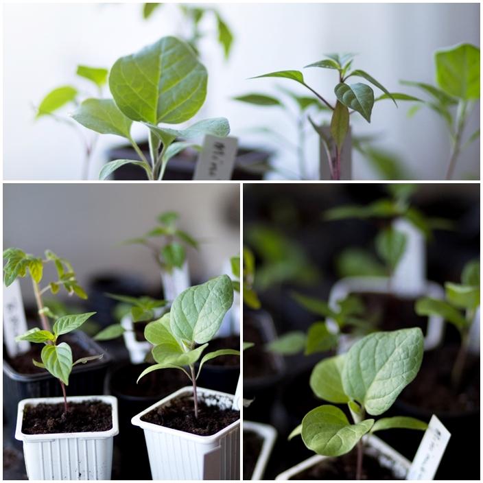 frösådda plantor