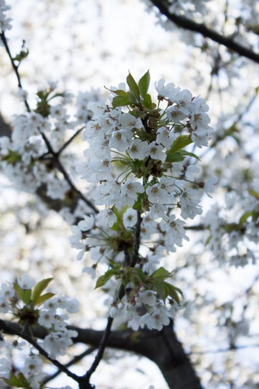 körsbärsblom på fotopromenad