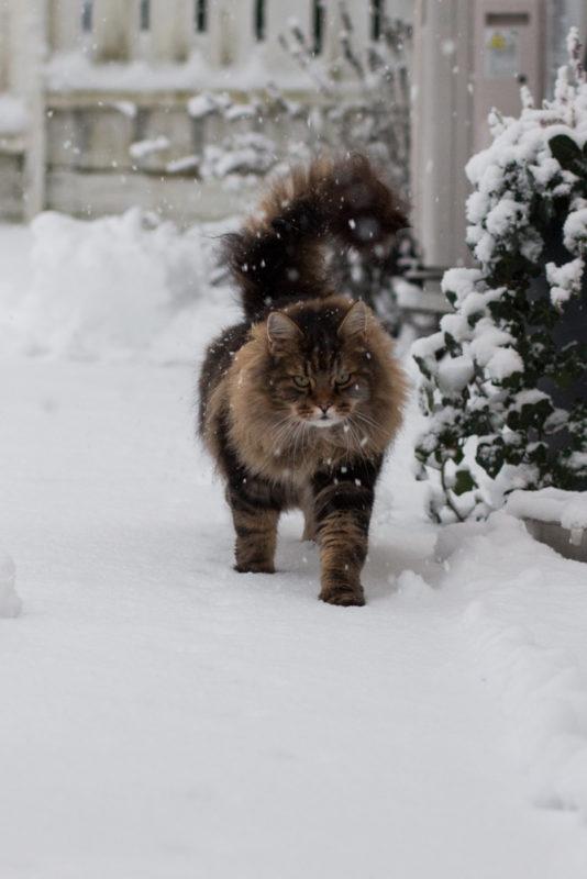 katt i snö