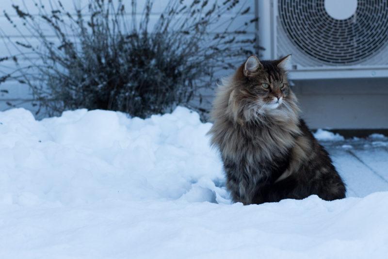 vinterkatt