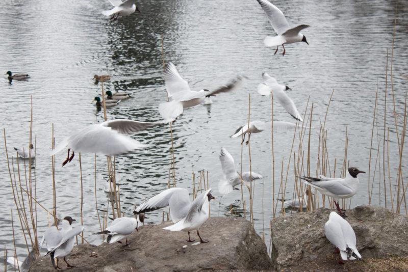fågelliv i Stockholm