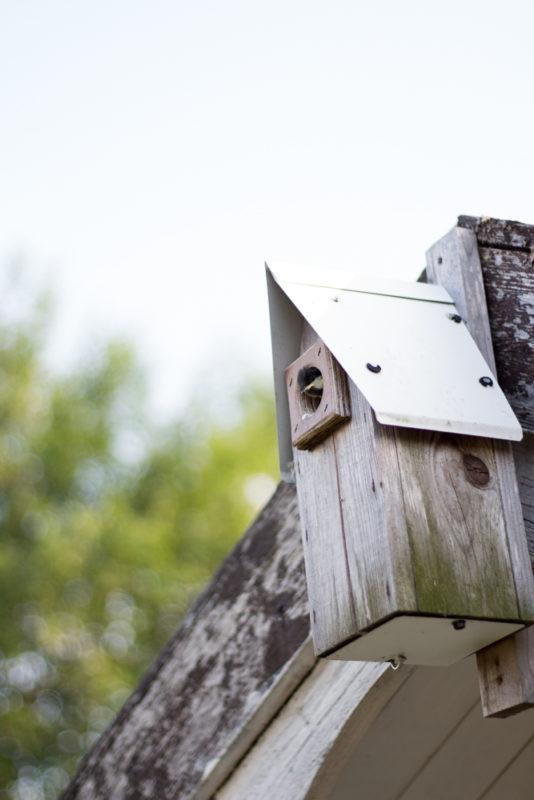 talgoxe i fågelholk